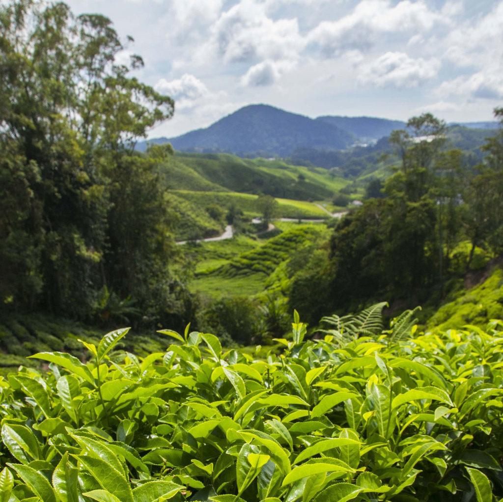 piantagione caffè