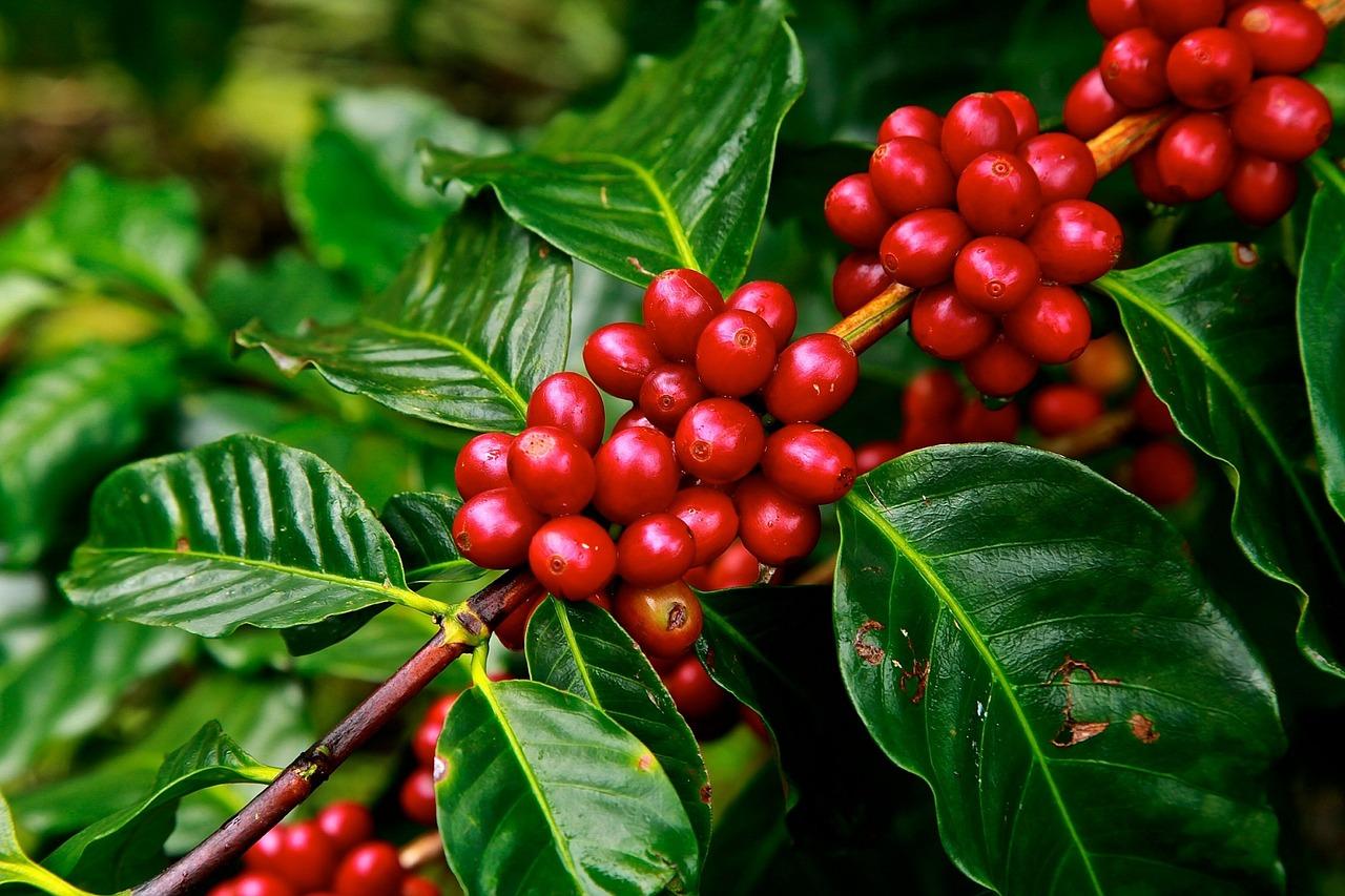 Origine della parola caffè e un po' di storia - La Cittadella Caffè